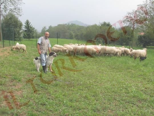 I Miei Cani Da Pastore Dellasia Centrale Con Un Gregge Di Pecore
