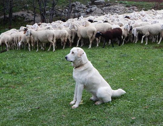 Cani Da Gregge E Cani Da Guardia Spesso Fratelli Ma Con Un