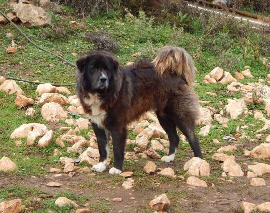 Il Mio Viaggio In Macedonia Autentico Pastore Del Ciarplanina Cani