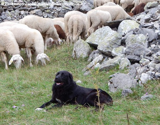 Nura Tuttaltro Che Una Pecora Nera Cani Da Guardia Pastore