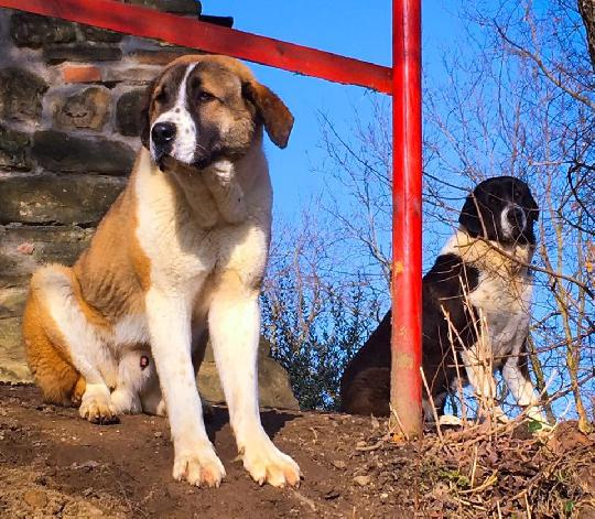 Pamir …il branco è una fonte di vita video cani da