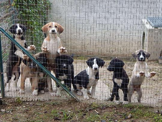 Cani Da Guardia Torino E Cuccioli Di Veri Cani Da Guardia Cani Da