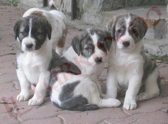Cani Da Guardia Cuccioli Di Cane Da Pastore Dellasia Centrale
